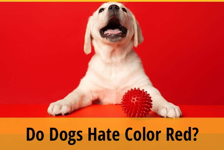 Why Do Dogs Hate the Color Red