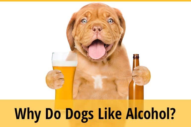 Why Do Dogs Like Alcohol