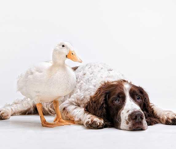dog and ducks
