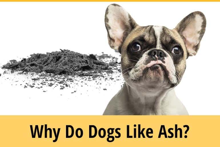 Why Do Dogs Like Ashes? - Does It Make Them Sick