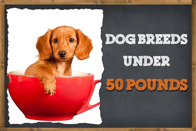 7 Dog Breeds That Are Under 50 Pounds