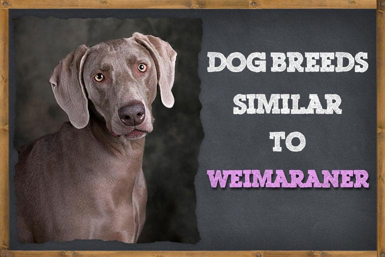 8 Dogs That Are Similar To Weimaraner
