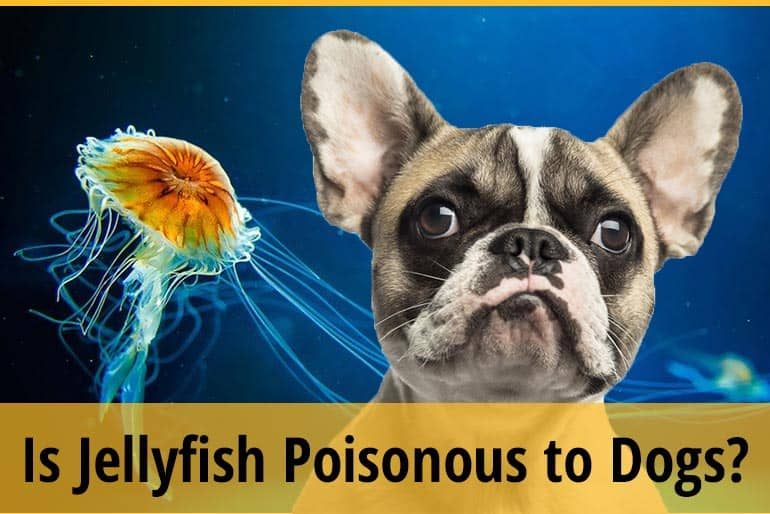 Are Jellyfish Poisonous to Dogs If Eaten?