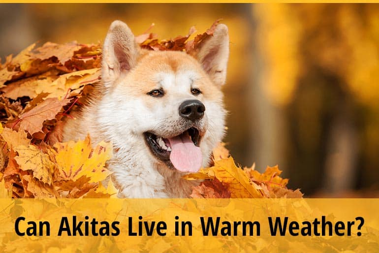 Can Akitas Live in Warm Weather