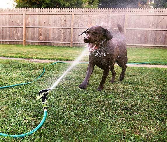 dog drinking from garden hose