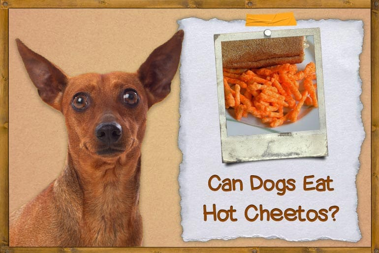 Can Dogs Eat Hot Cheetos