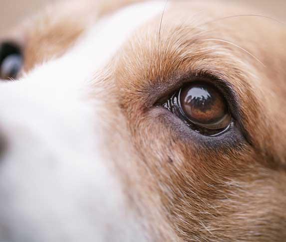 a dog's eye