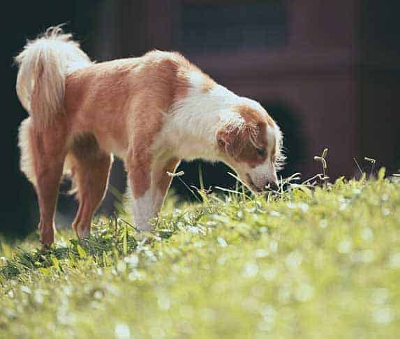 dog smelling grass