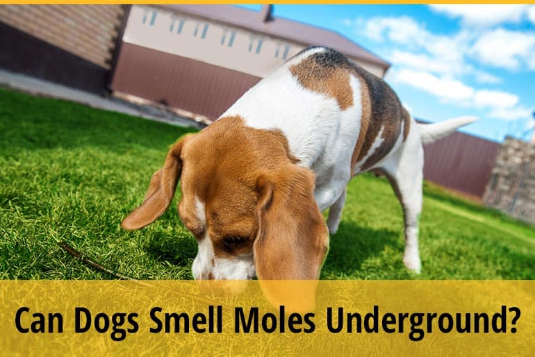 Can Dogs Smell Moles Underground