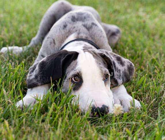sad great dane puppy