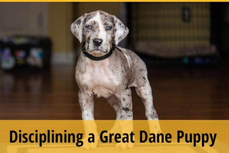 How To Discipline A Great Dane Puppy