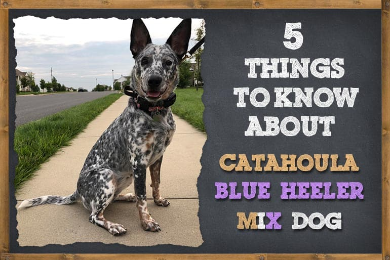 5 Things to Know About Catahoula Blue Heeler Mix Dog
