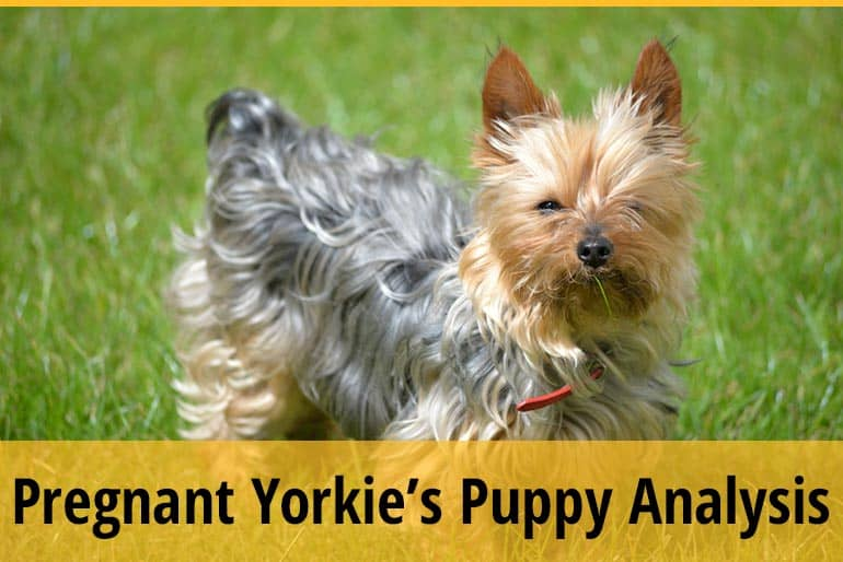 When Can You Feel Puppies Move In Pregnant Yorkie