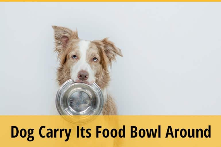 Why Does Dog Carry Its Food Bowl Around