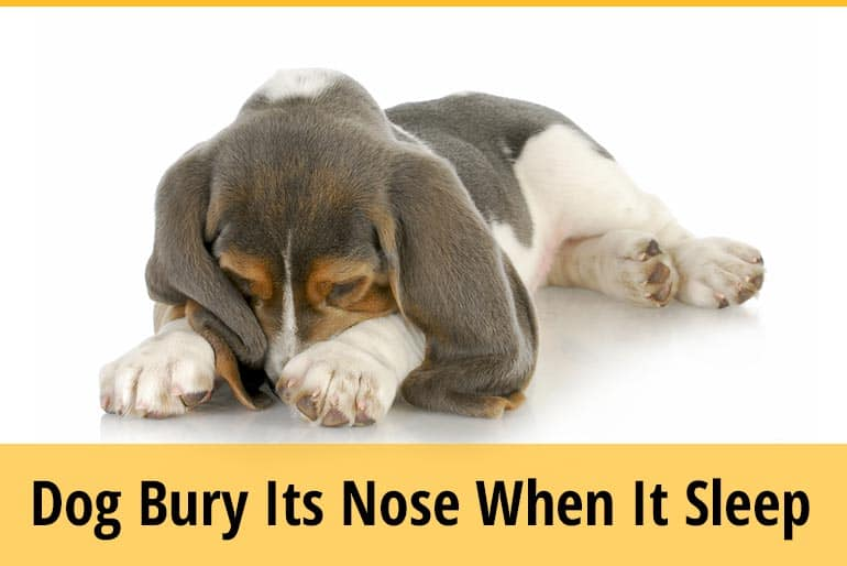 Why Do Dogs Bury Their Nose When They Sleep
