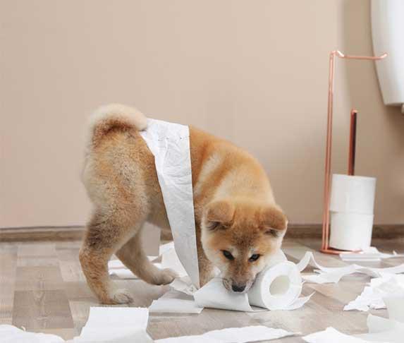 akita puppy playing