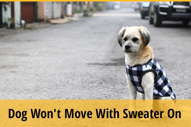 Why Is My Dog Won't Move With Sweater On