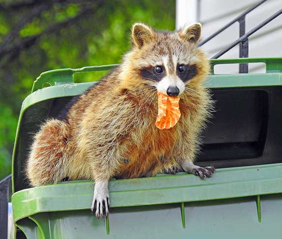 raccoon inside a trash bin