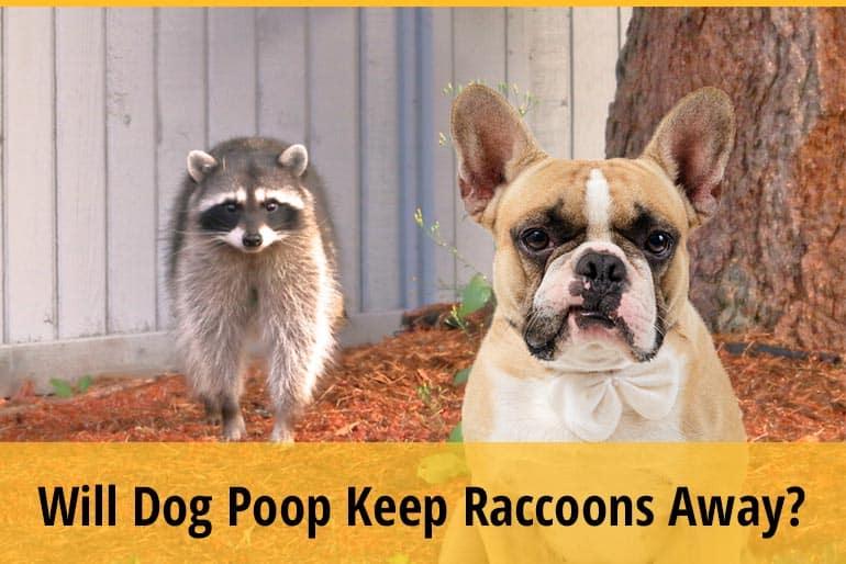 Will Dog Poop Keep Raccoons Away