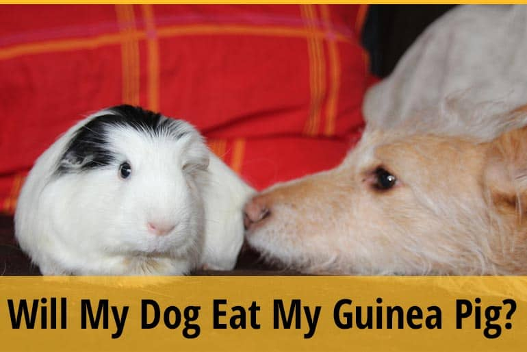 Will My Dog Eat My Guinea Pig