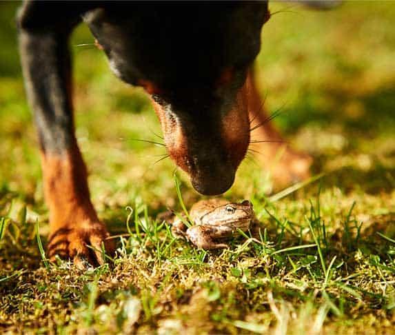 dog lick a frog