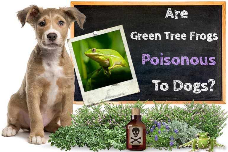 Are Green Tree Frogs Poisonous To Dogs