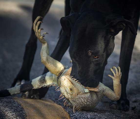 dog bite an iguana