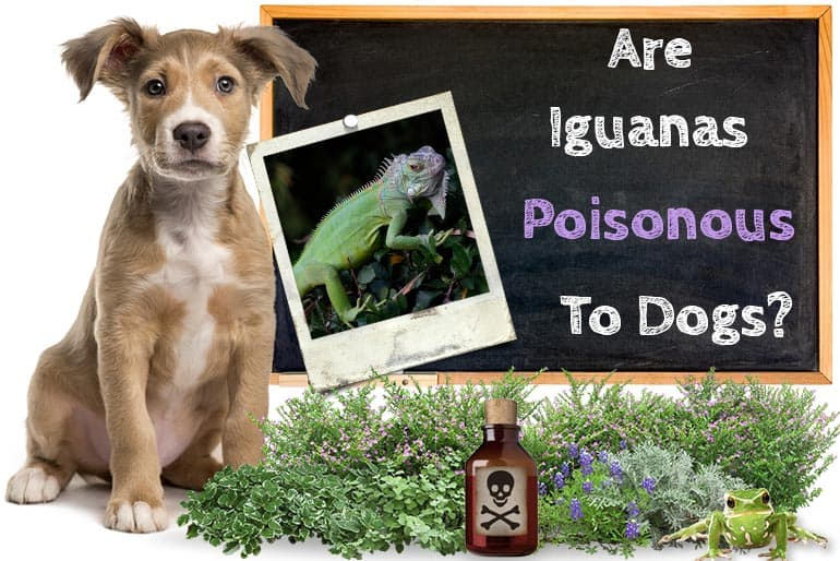 Are Iguanas Poisonous To Dogs