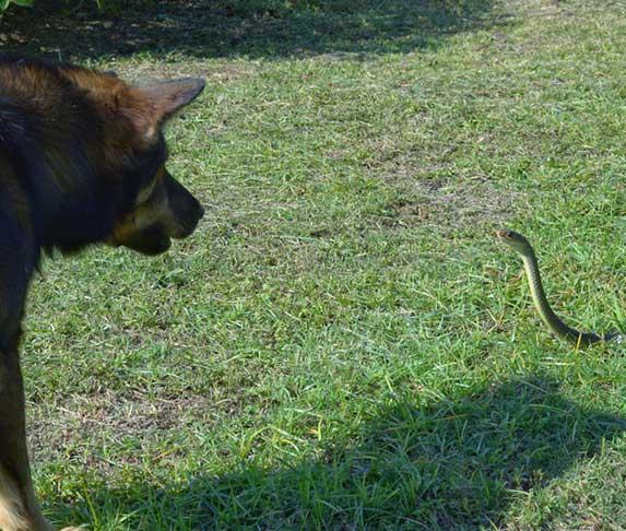 dog encountered a snake
