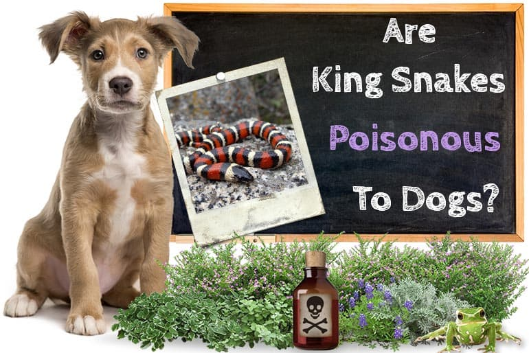 Are Kingsnakes Poisonous To Dog