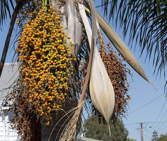 queen palm tree and seed