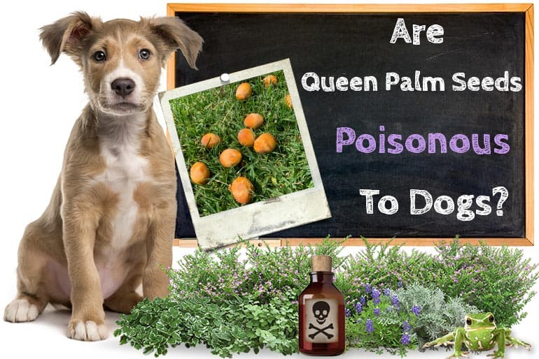 Are Queen Palm Seeds Poisonous To Dogs