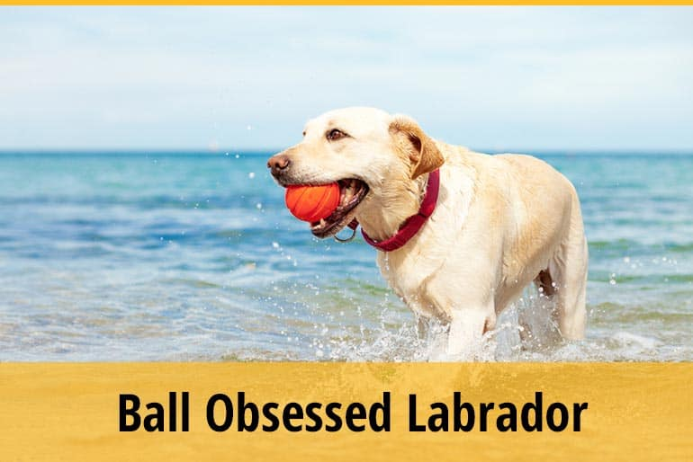 Ball Obsessed Labrador