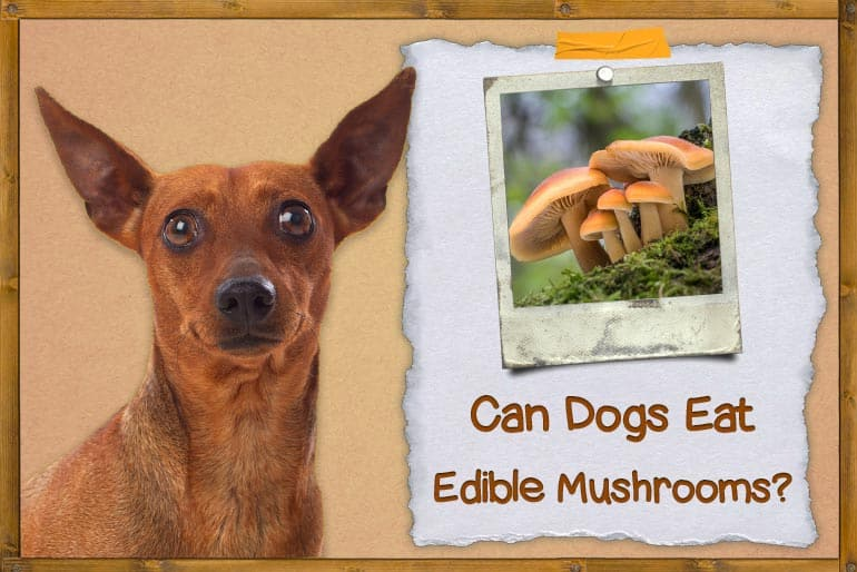 Can Dogs Eat Edible Mushrooms