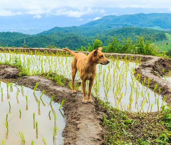 dog in rice field