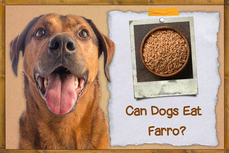 Can Dogs Eat Farro