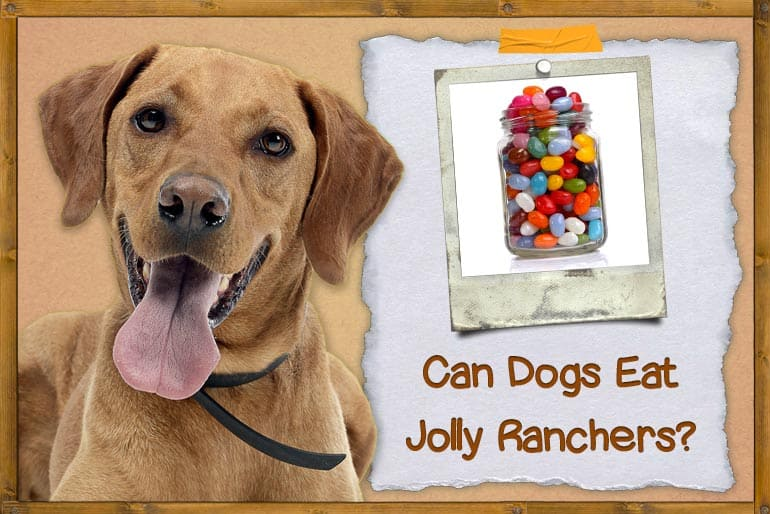 Can Dogs Eat Jolly Ranchers