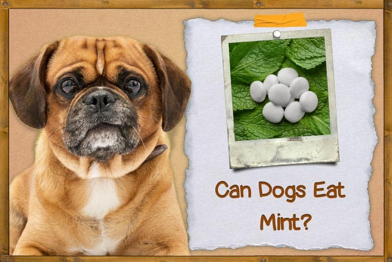 Can Dogs Eat Mint