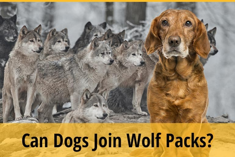 Can Dogs Join Wolf Packs