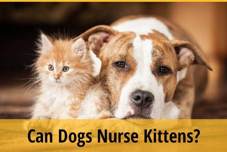 Can Dogs Nurse Kittens