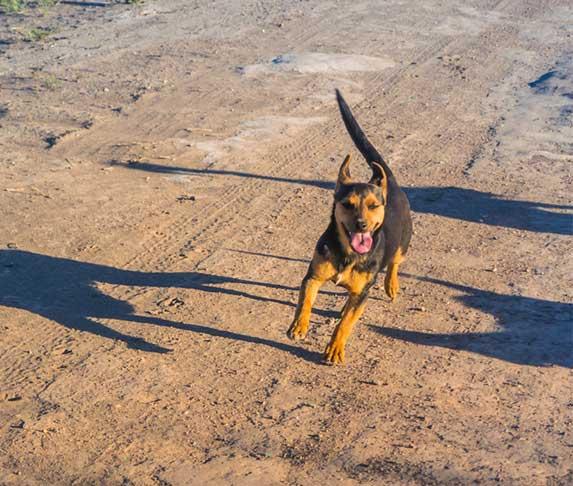 dog running on dirt