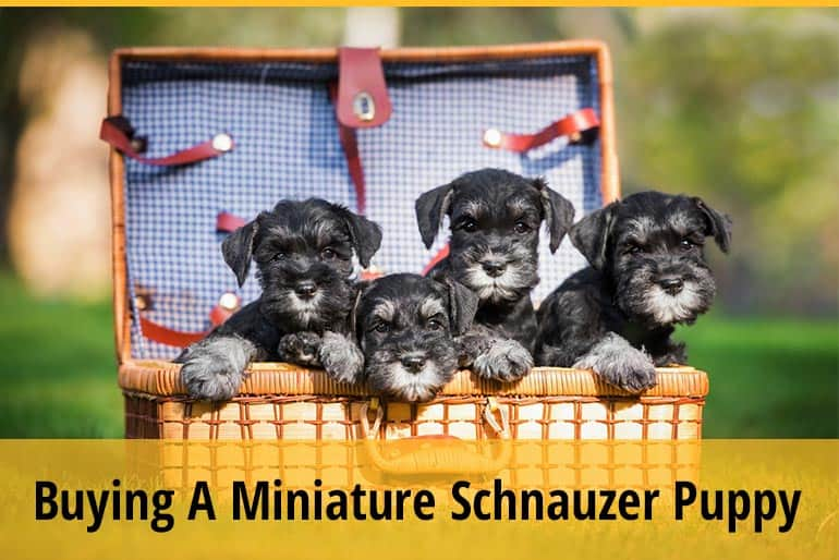 What To Look For When Buying A Miniature Schnauzer Puppy?