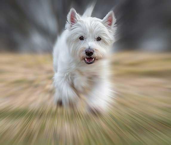 an agile dog