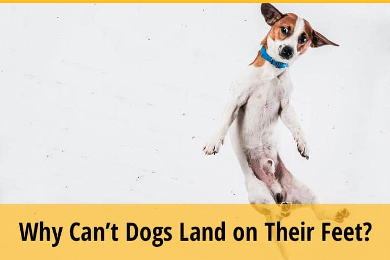 Why Can't Dogs Land On Their Feet
