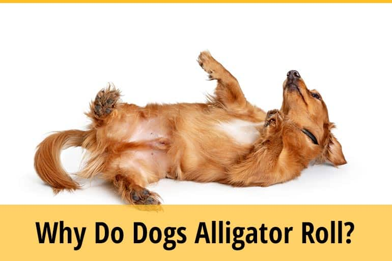 Why Do Dogs Alligator Roll
