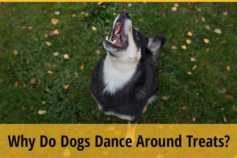 Why Do Dogs Dance Around Their Treats