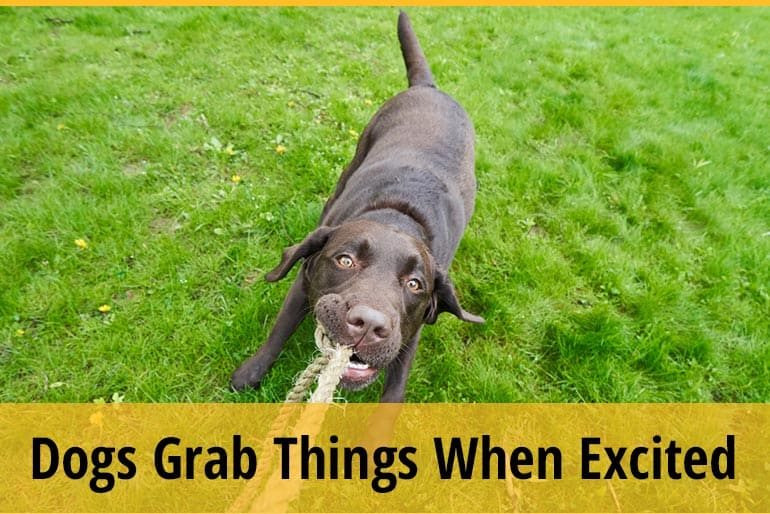 Why Do Dogs Grab Things When Excited