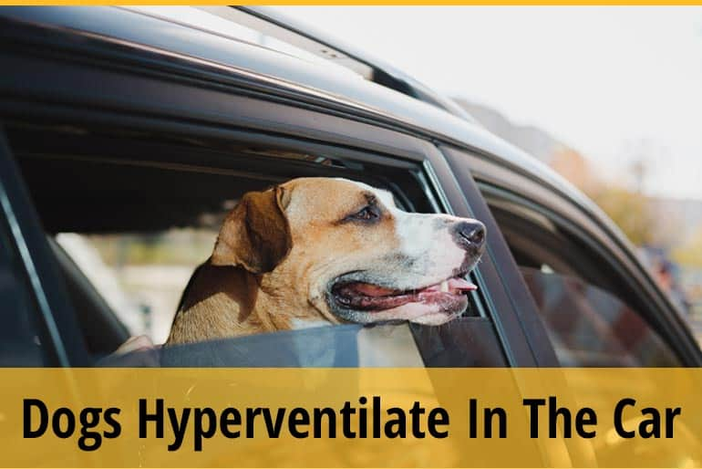 Why Do Dogs Hyperventilate In The Car