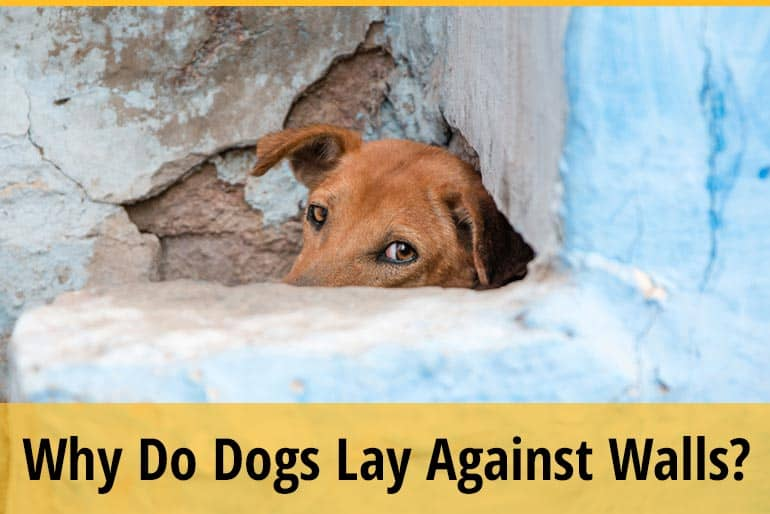 Why Do Dogs Lay Against Walls