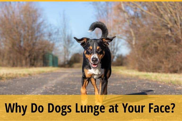 Why Do Dogs Lunge at Your Face